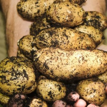 organic-potatoes-regulation-2020